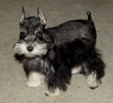 Music Makers Puppies Miniature Toy Teacup Schnauzers